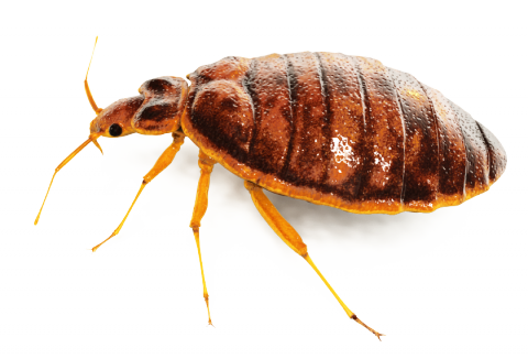 Are Bed Bugs Small And White